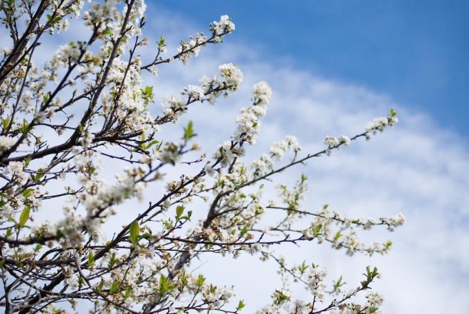 Plum-blossom-spring-9